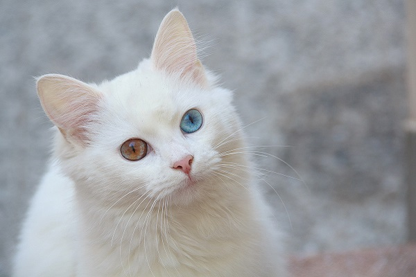 Angora turco gatto