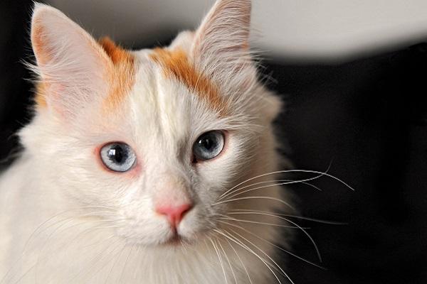 Turco van gatto