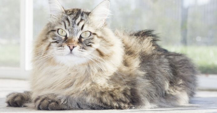 gatto con manto soffice