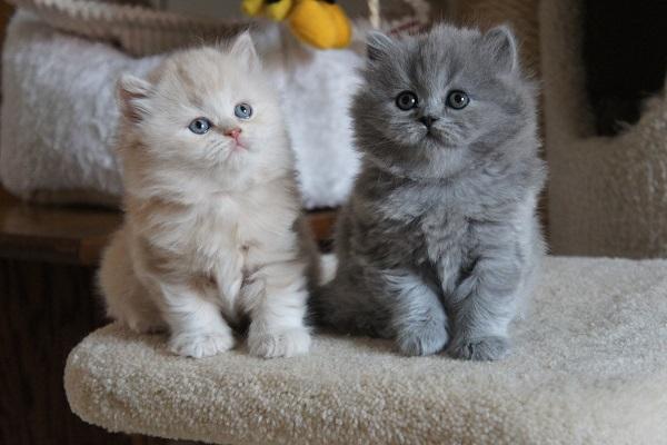 British longhair gatti