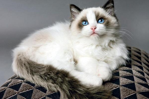 Ragdoll gatto