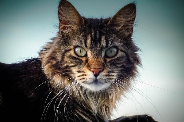 Maine coon gatto