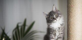 gatto su torre tiragraffi