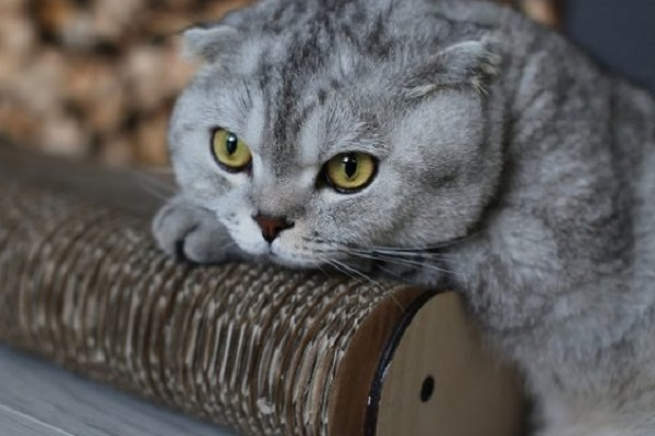 Scottish fold gatto