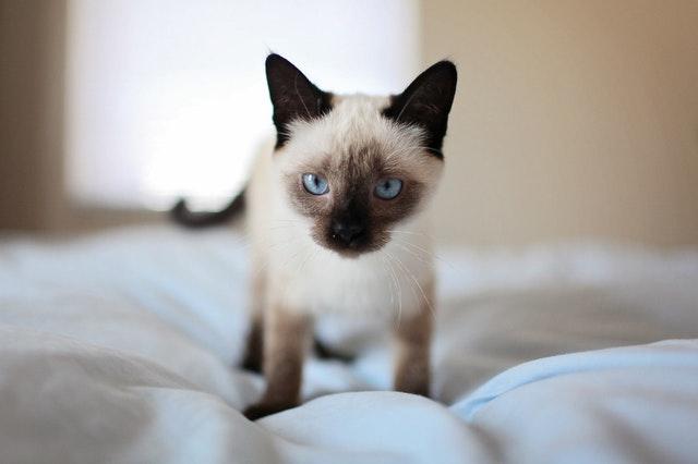 razze-gatti-occhi-blu
