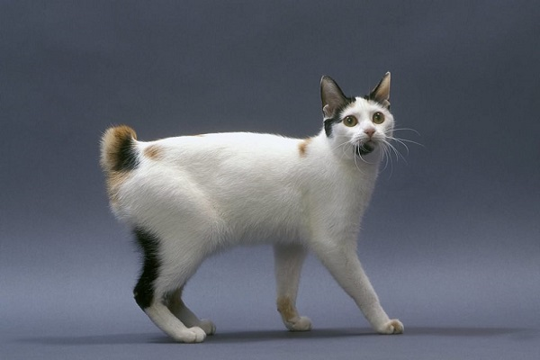 gatto Japanese bobtail