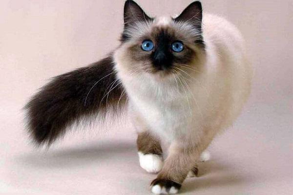 Balinese gatto