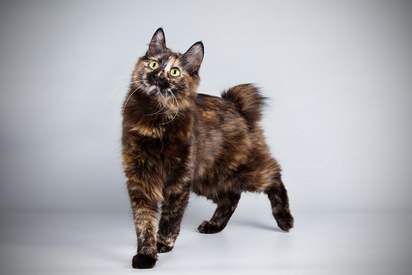 Japanese bobtail gatto