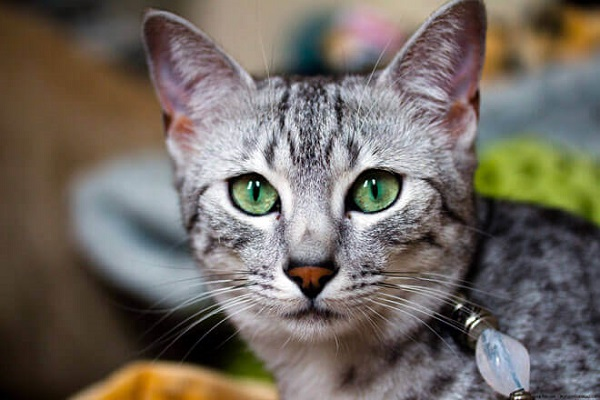 Mau egiziano gatto