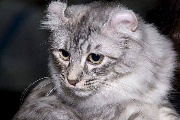 gatto con orecchie arricciate