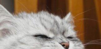 gatto arrabbiato in primo piano