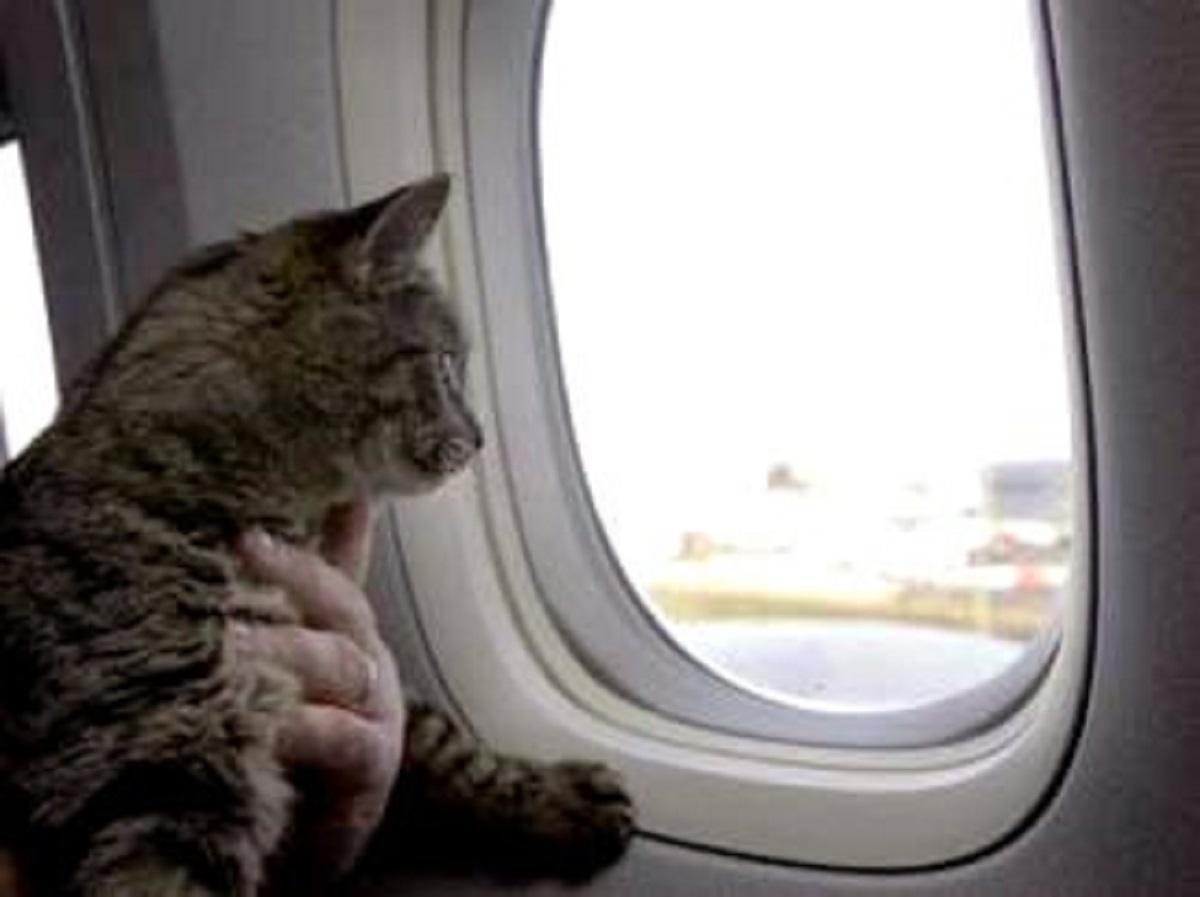 gatto in aereo guarda fuori dal finestrino