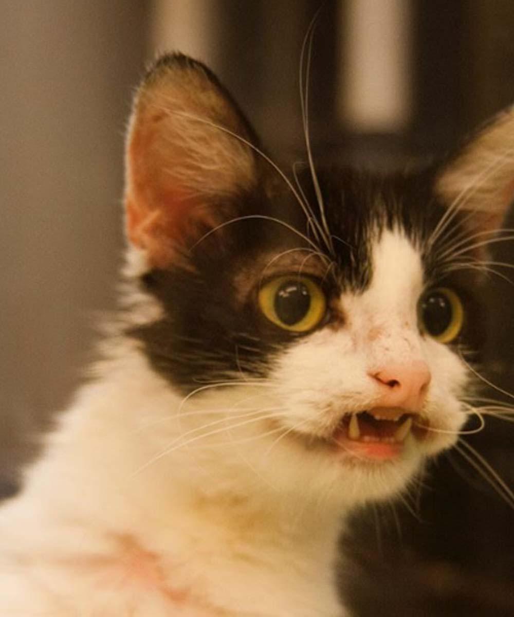 Gatto con bocca aperta