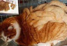 Il gatto Chamade