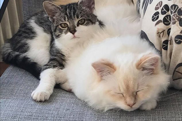 Due gatti sdraiati