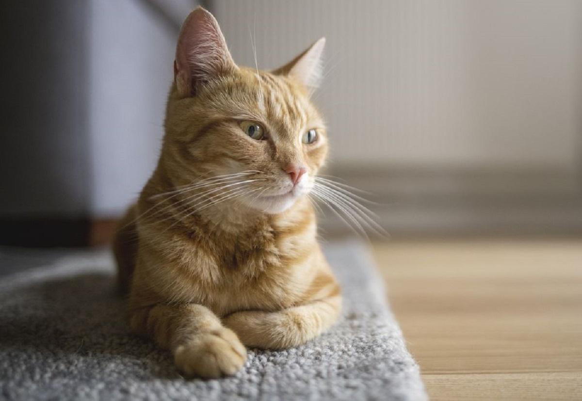 gatto disteso su tappeto
