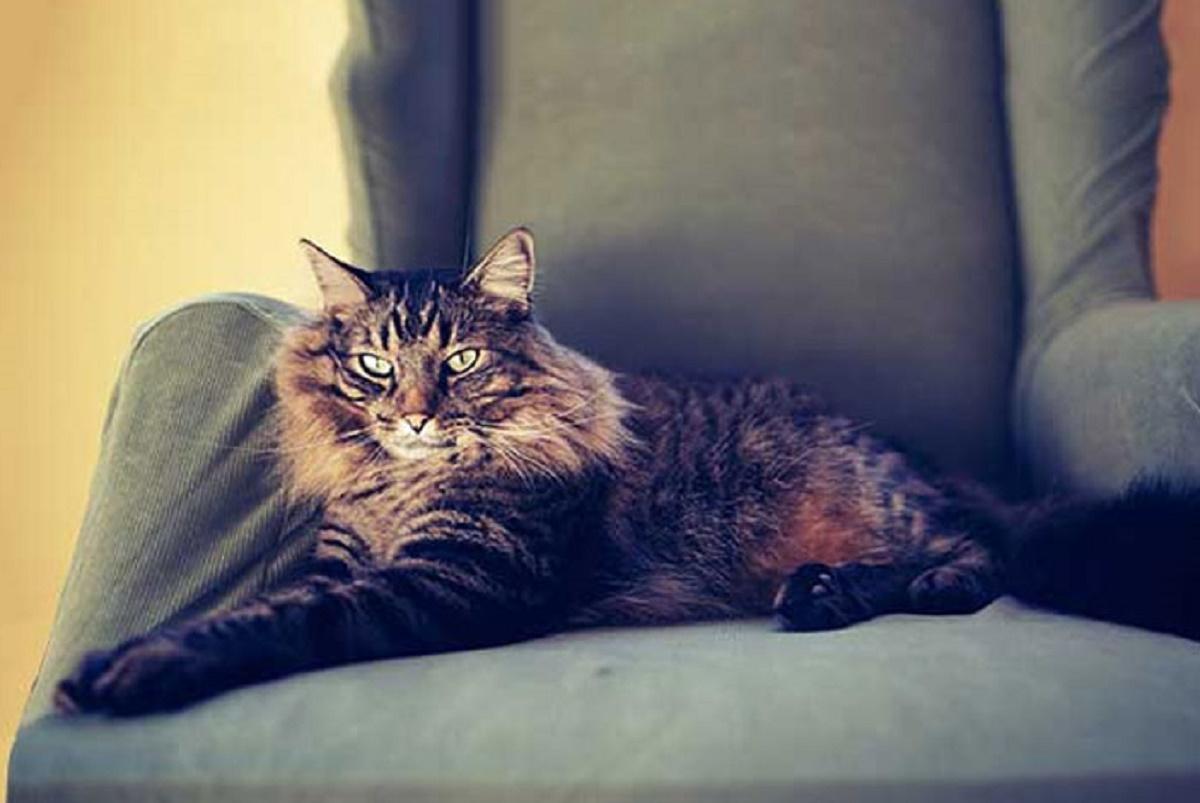 gatto anziano su poltrona