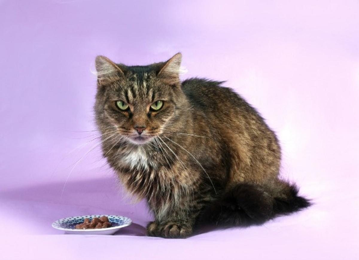 gatto anziano con piatto di cibo