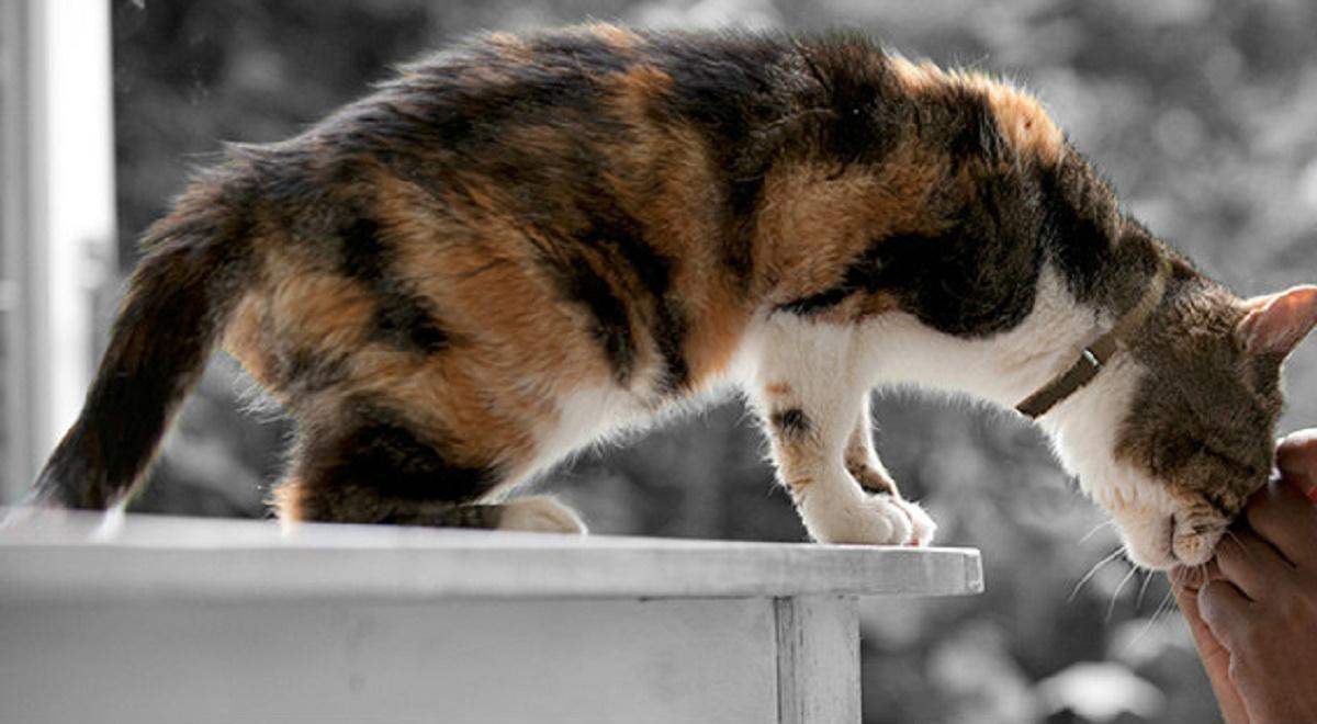 gatto anziano accarezzato sul muso
