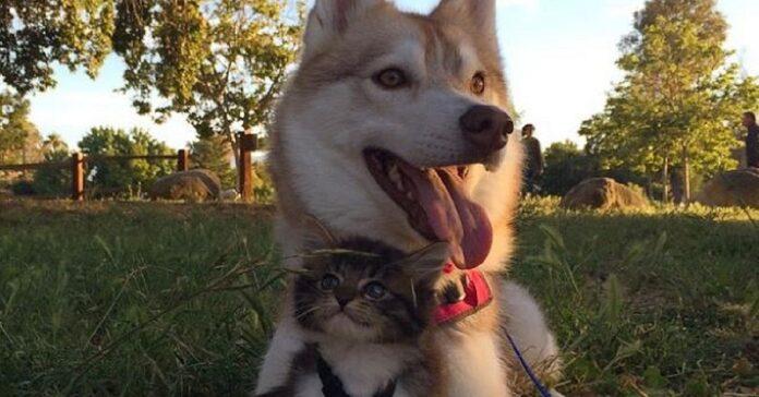 husky e gatta inseparabili