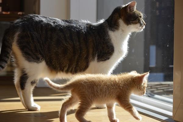 gatto adulto con gattino