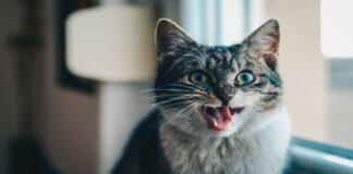 gatto scopre i denti