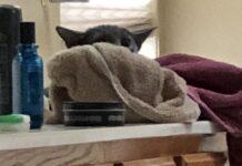 gatto che somiglia al personaggio baby yoda