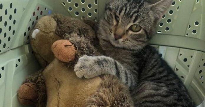 gatto cieco da un occhio abbraccia peluche