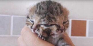 gatto con diprosopia in thailandia