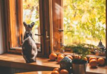 gatto-egiziano-senza-pelo-caratteristiche-immagini