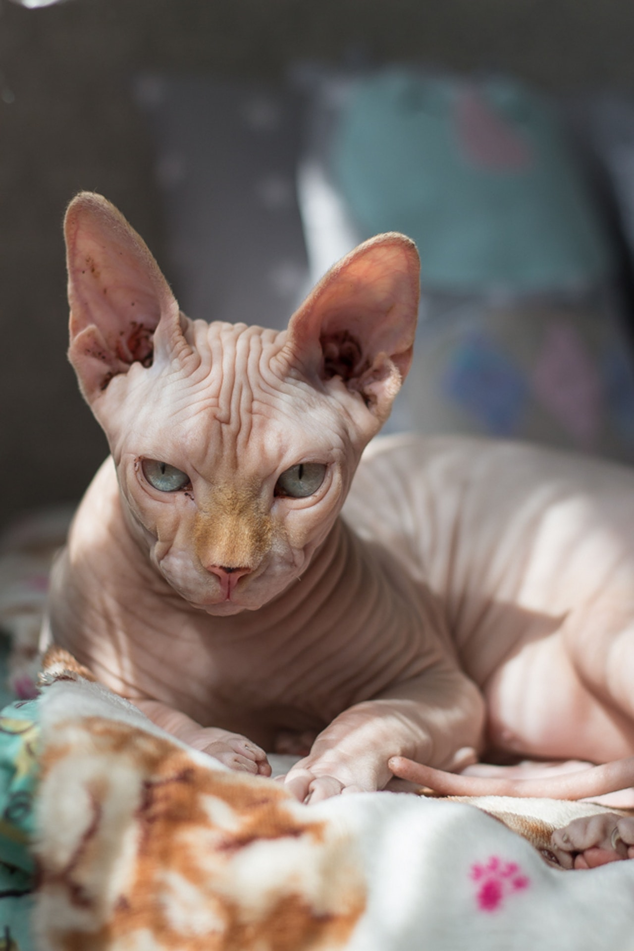 gatto-egiziano-senza-pelo