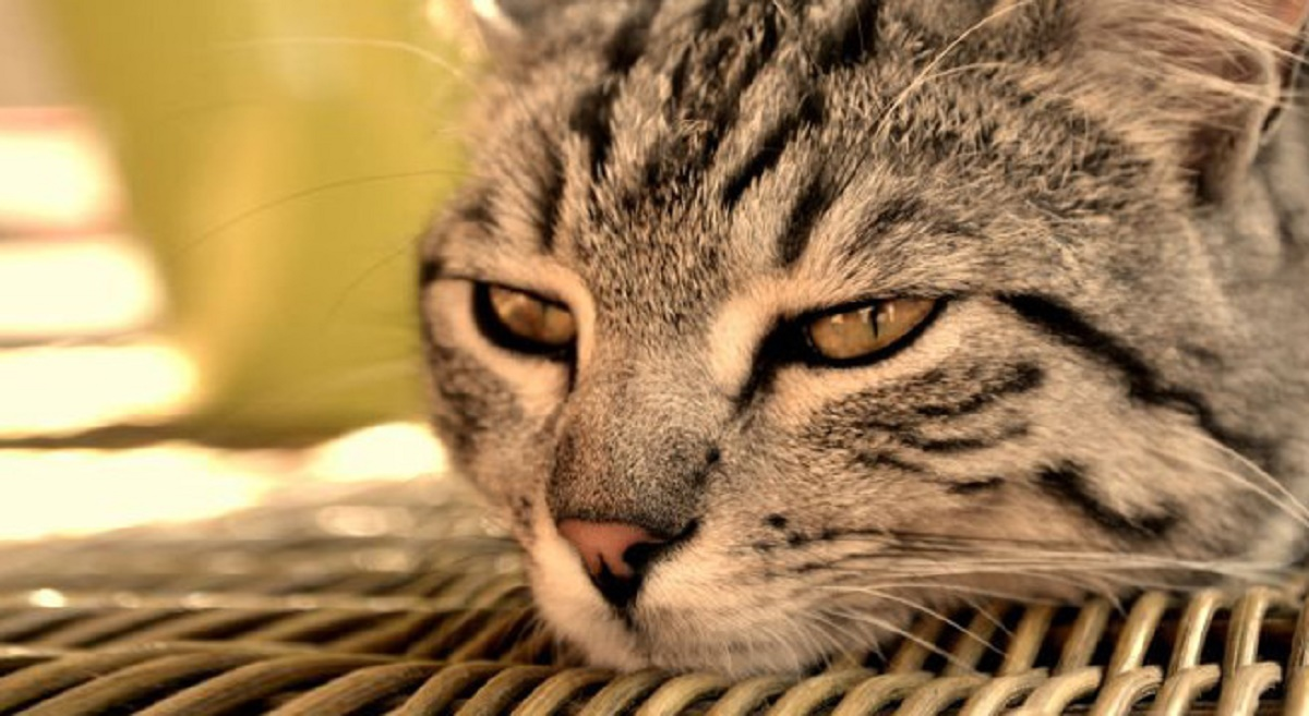 primo piano gatto soriano