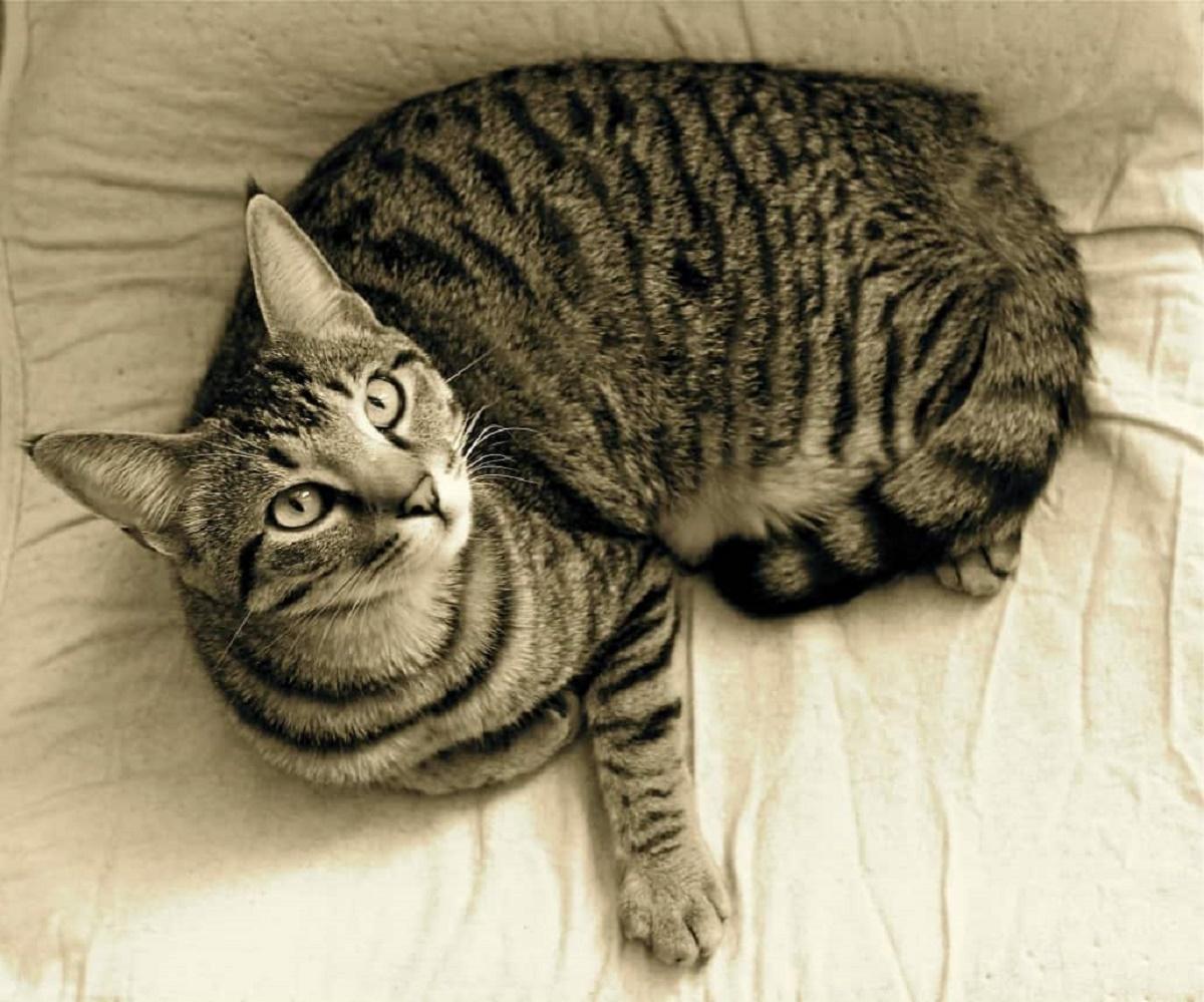 gatto soriano in bianco e nero