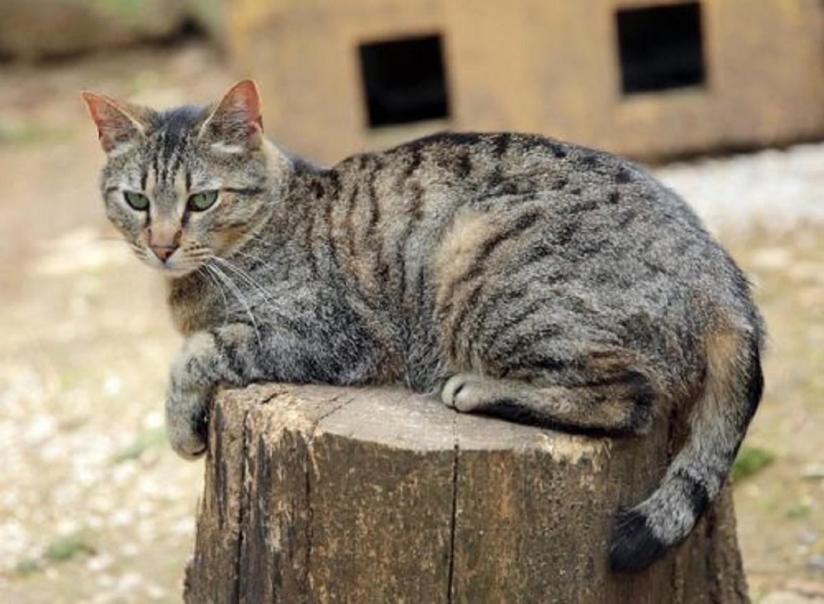 gatto soriano su ceppo