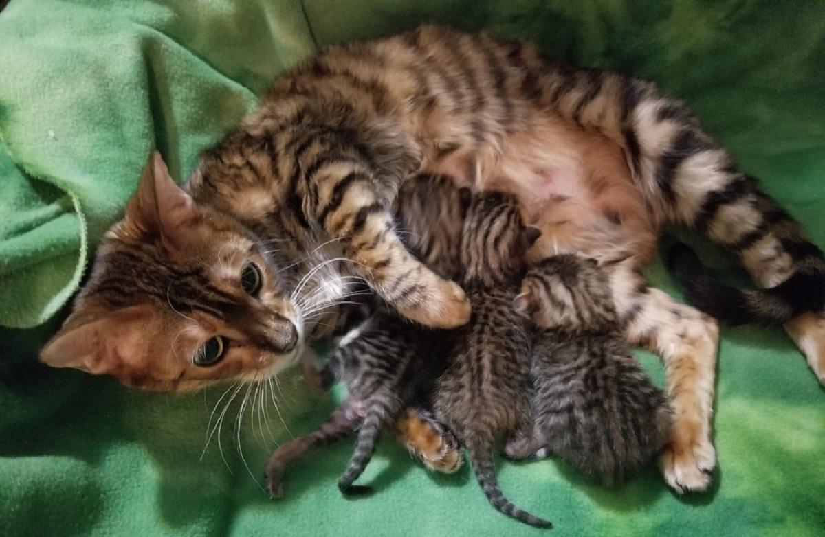 gatta toyger con cuccioli