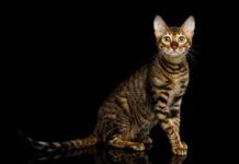 gatto toyger sfondo nero
