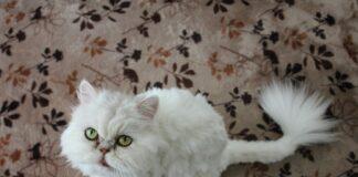 giochi-gatto-persiano