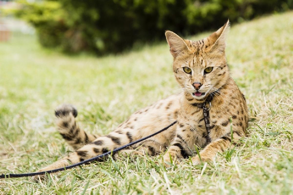 gatto savannah disteso sull'erba