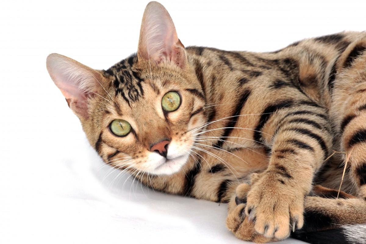 gatto savannah sfondo bianco