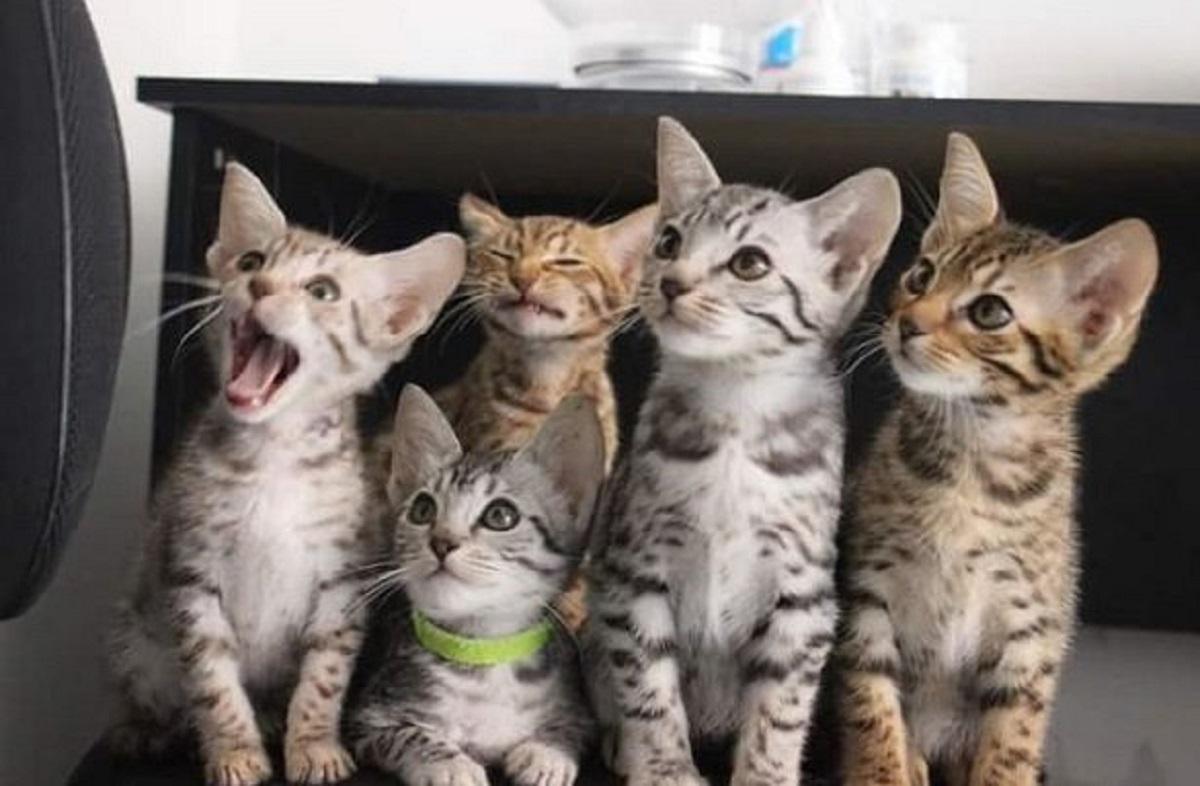cuccioli di gatto ocicat