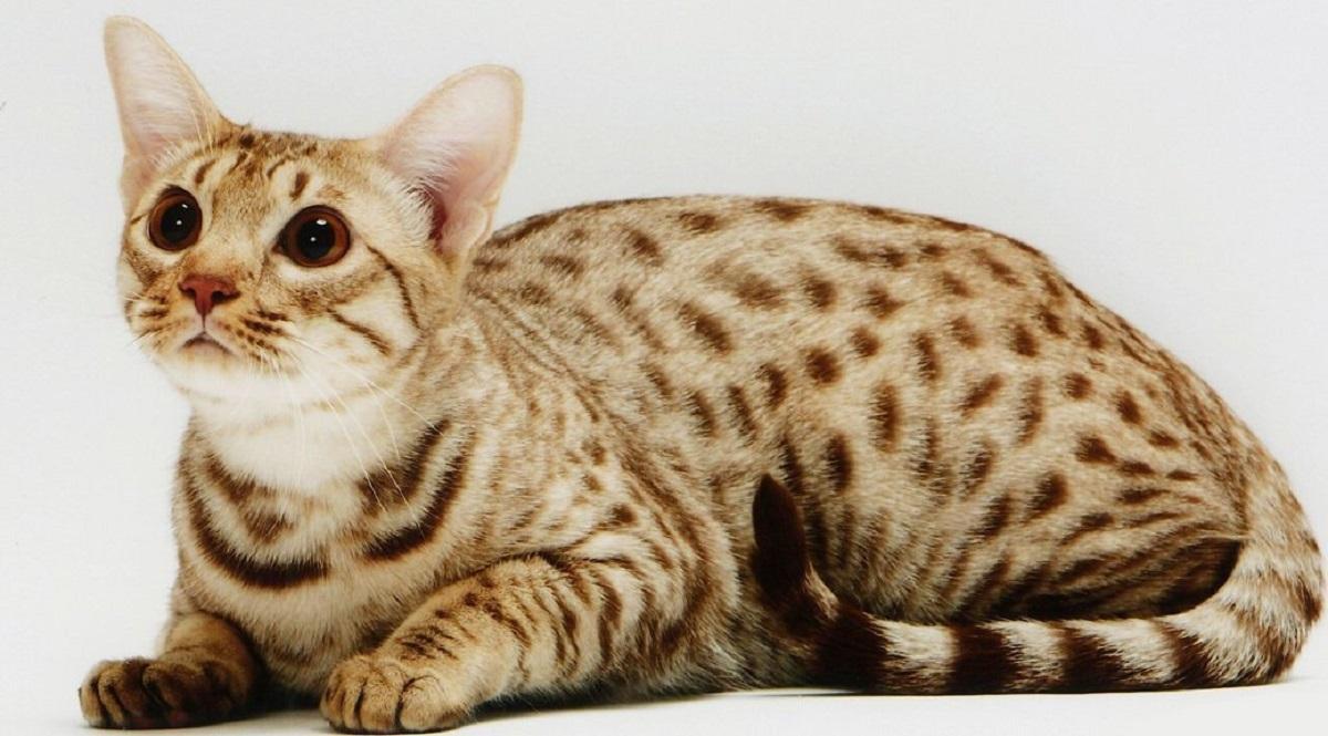 gatto ocicat sfondo bianco