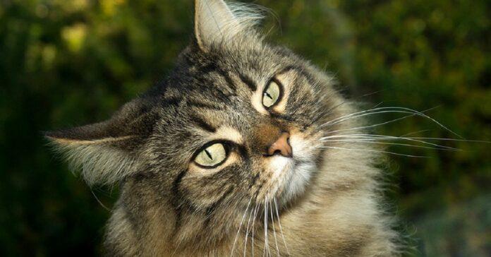 gatto anallergico