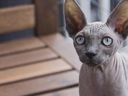 gatto con poco pelo