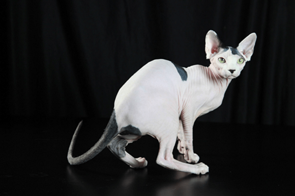 gatto quasi senza pelo