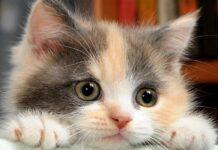 Munchkin gatto piccolo