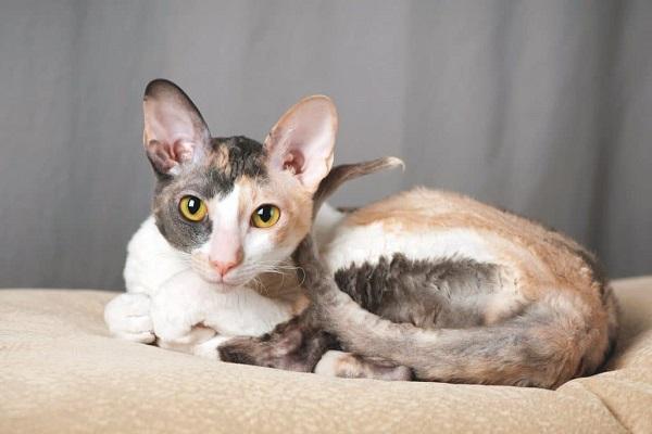 cornish rex gatto