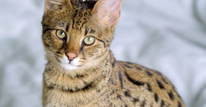 esempalre di gatto savannah