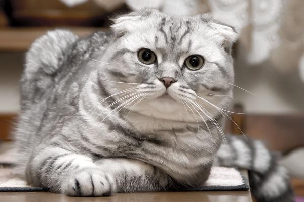 Scottish fold gatto