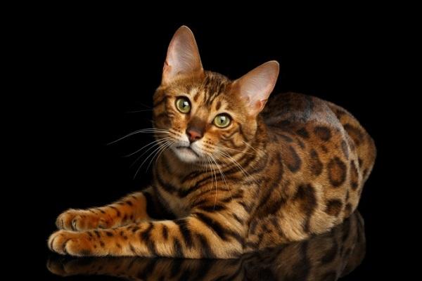 razza di gatto pregiata