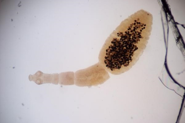 verme del gatto al microscopio